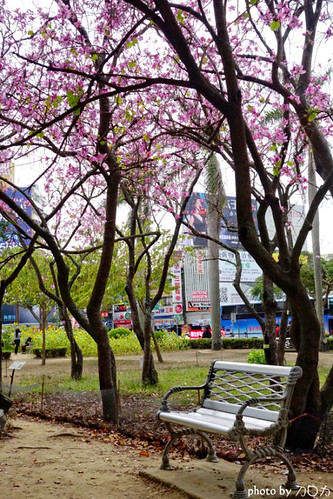 21-3_台南公園羊蹄甲