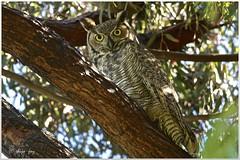 Great Horned Owl photo by Shijo Joy