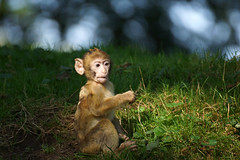Baby Monkey, Barbary Macaques, Berberaffe - Explore photo by okrakaro