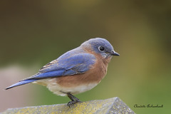 Merlebleu de l'Est, Eastern Bluebird photo by Claudette Archambault