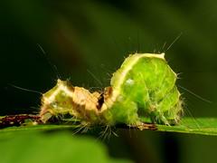 Witch Hazel Dagger Caterpillar