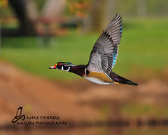 Male Wood duck photo by mtetcher