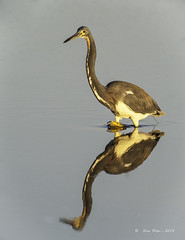 "Reflecting On This Tricolored Heron  ""Explored"" photo by stan hope Off and on."