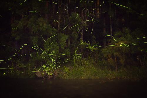 Fireflies #5