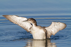 Great Northern Diver photo by Andrew Haynes Wildlife Images