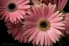 Gerbera Daisy photo by NM Flower Girl