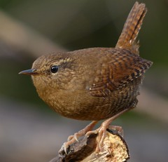 Winter Wren photo by corvidaceous