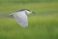 Black-crowned Night Heron photo by Mark Schwall