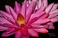 Waterlily, Tropical Night Flowering at Longwood Gardens PA photo by takegoro