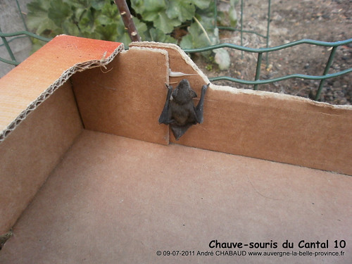Chauve-souris du Cantal 10