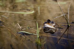 Common frog photo by erikpaterson