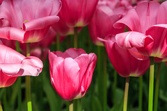 """Not """"just"""" pink tulips photo by Maria_Globetrotter (not globetrotting)"""