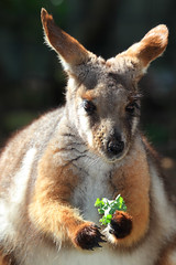 YELLOW-FOOTED ROCK WALLABY **Seen In EXPLORE** photo by canikon1998