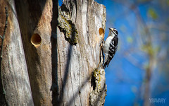 Pic Mineur / Downy Woodpecker / picoides pubescens photo by Y.RAVARY photoart (Thanks for Over 650K Views!)