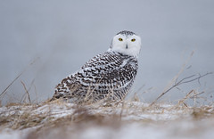 Snowy Owl photo by PeterBrannon