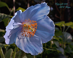 Blue Poppy Flower (2 of 2) in the East Conservatory at Longwood Gardens of Kennett Square, PA photo by takegoro