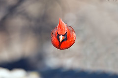 Male Cardinal In Flight photo by Brian E Kushner