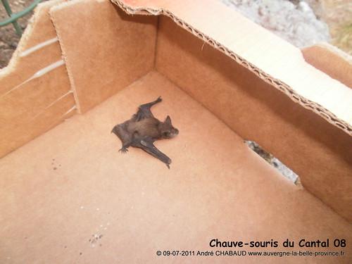 Chauve-souris du Cantal 08