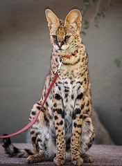 A Sweet Serval Cat photo by Bartfett
