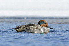 Green-Winged Teal photo by PeterBrannon