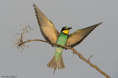 European Bee-eater - Merops apiaster photo by doritbz
