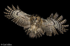 Tawny Owl photo by Carl Allen