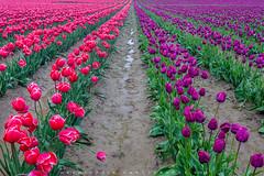 Tulips photo by ©Helminadia Ranford
