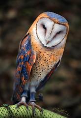 Heart-Shaped Face Barn Owl photo by Ben Heine