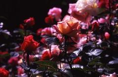 rose garden photo by yuki*