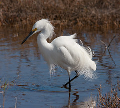 Snowy Egret at Black Point Drive. (Dedicated to Paul Hueber)(Explored) photo by Sammy Santiago