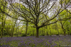 The Enchanting Bluebell Forest photo by Glyn Owen Photography & Image-Art