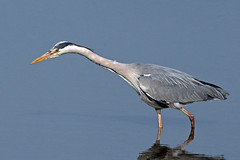 grey heron  (Explored) photo by DODO 1959