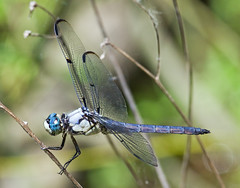 Great Blue Skimmer (Libellula vibrans) photo by monon738