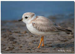 Piping Plover photo by Betty Vlasiu