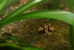Gelbgebänderter Baumsteiger photo by ivlys