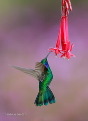 Green Violetear Hummingbird photo by MyKeyC