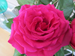 Thursday Flower - Rose (Thank you everyone for over 250,000 views) photo by sueeverettuk