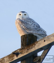 Snowy Owl photo by Nick Scobel