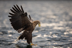 White-tailed Sea Eagle - Norway photo by Susanna Chan