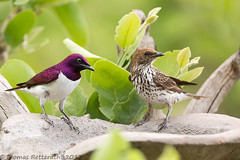 Violet-backed Starling photo by Wild Dogger