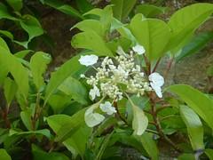 H. serratifolia