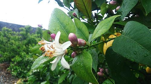 2014-05-05レモンの花