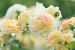 """English roses. モリニュー"""" Molineux"""" photo by cate♪"""