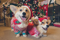 356/365 - 22 December 2013: Merry Corgmas! photo by iM4i2Ci