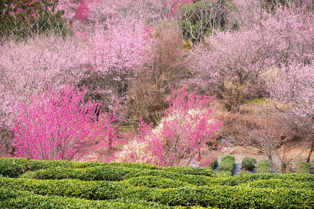 武陵农场赏樱 DSC_6182