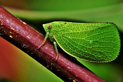 Planthopper - Acanalonia conica photo by Pingyeh