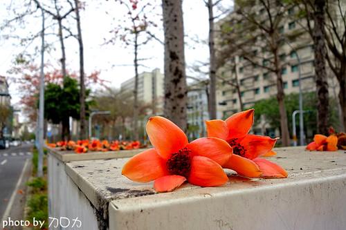 10_台南東豐路木棉花