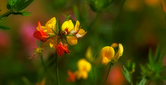 Wild flowers photo by Colin-47