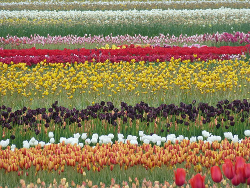 20-Keukenhof-Tulipes en champs-in fields
