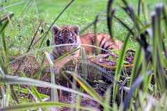 Tiger Cub photo by Dave_O1